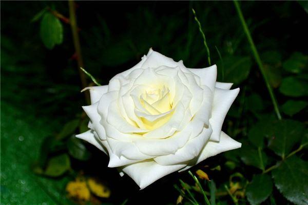 雪白的花朵