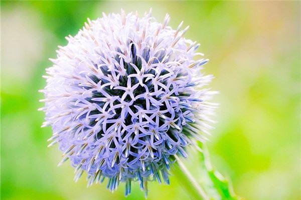 蒲公英一样的花朵。